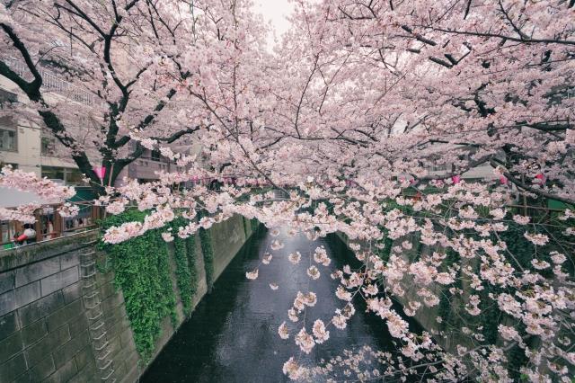 blossomcherrytrees1