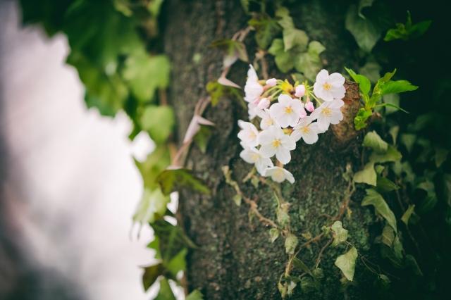 blossomcherrytrees2