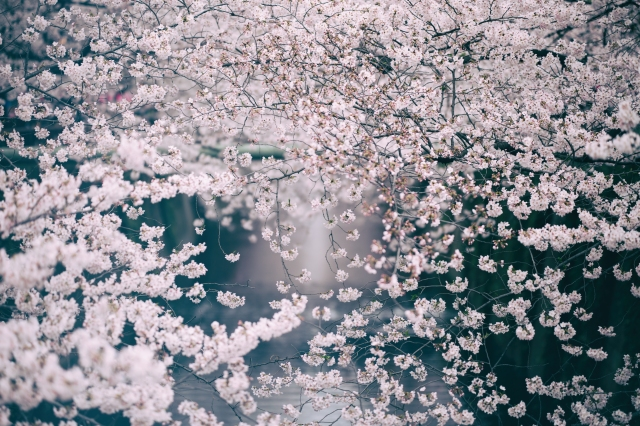 blossomcherrytrees3