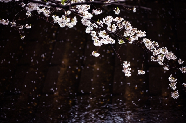 blossomcherrytrees5