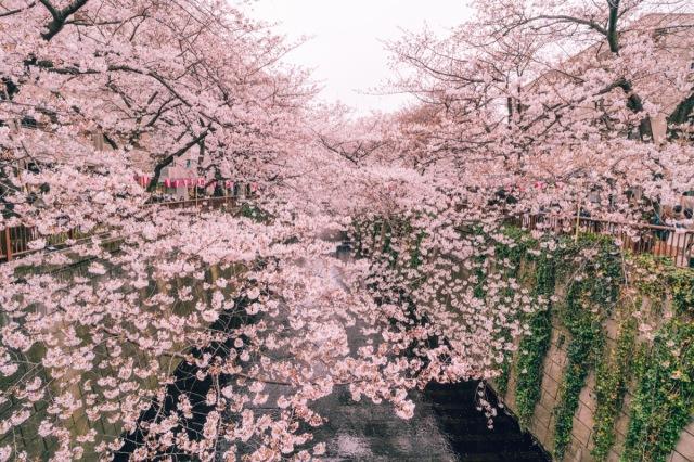 blossomcherrytrees7