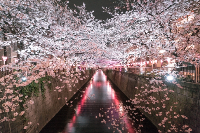 flow-art-station, bloom cherry tree flow-art-station, hanami Japan, Japanese culture, photography, sakura, sakura blossoms, spring, tree,