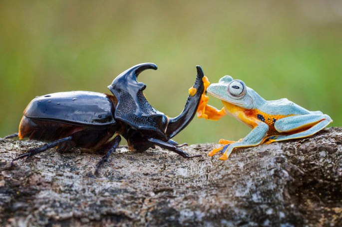 frog-riding-beetle-hendy-mp-1