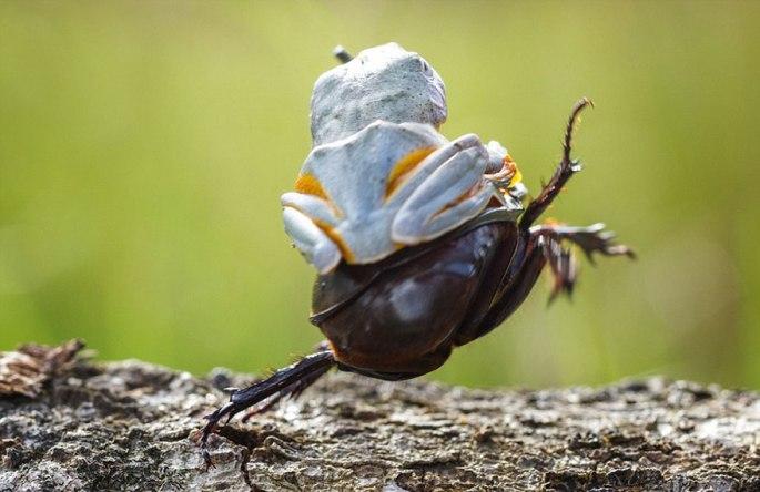 frog-riding-beetle-hendy-mp-4