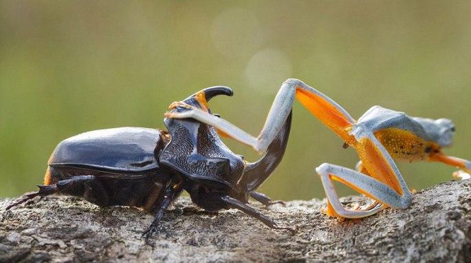 frog-riding-beetle-hendy-mp-5