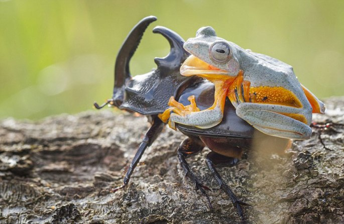 frog-riding-beetle-hendy-mp-9