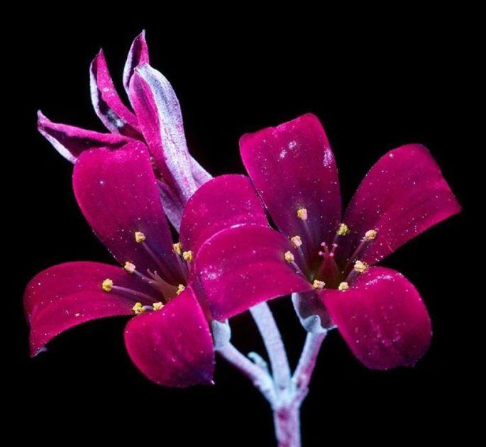 flowers-glow-in-dark-uv-photographs-1