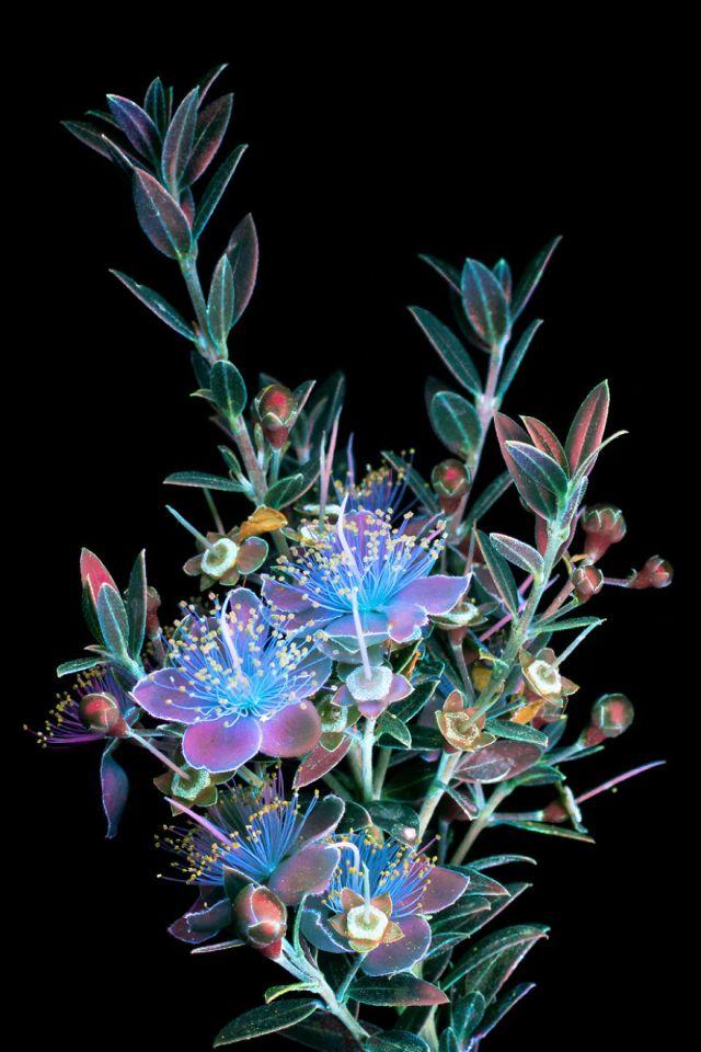 flowers-glow-in-dark-uv-photographs-16
