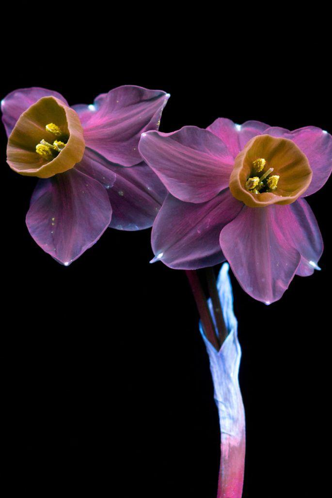 flowers-glow-in-dark-uv-photographs-21
