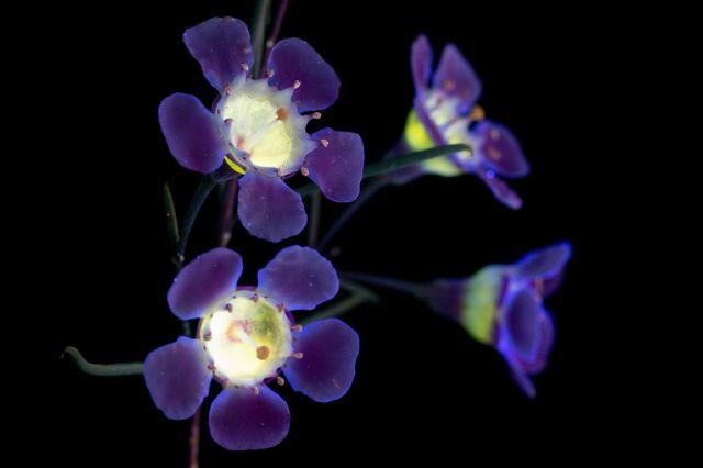 flowers-glow-in-dark-uv-photographs-25