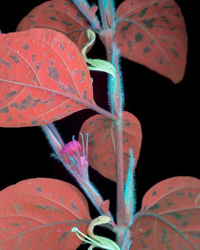 flowers-glow-in-dark-uv-photographs-3