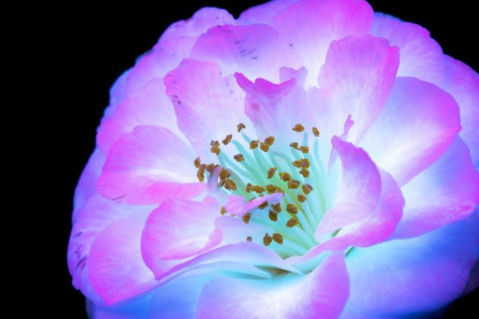 flowers-glow-in-dark-uv-photographs-35