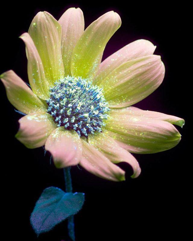 flowers-glow-in-dark-uv-photographs-39