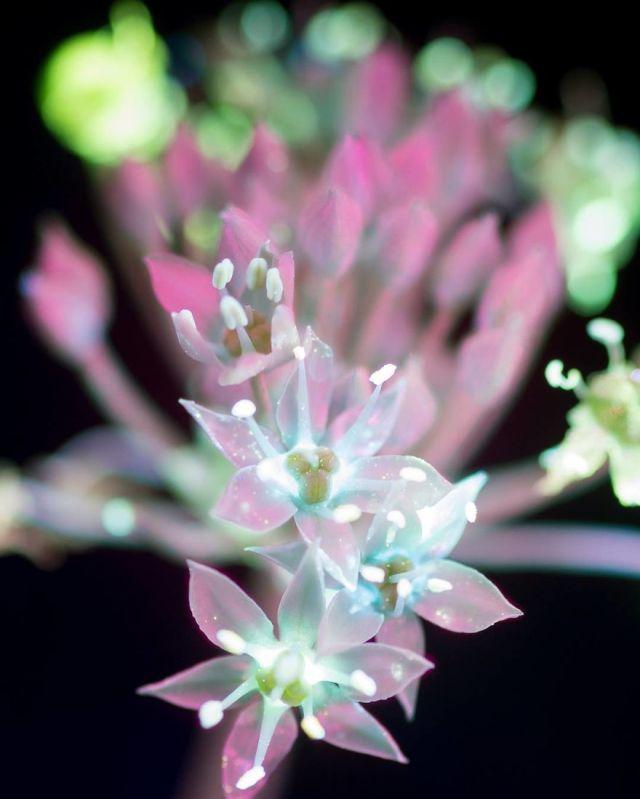flowers-glow-in-dark-uv-photographs-6