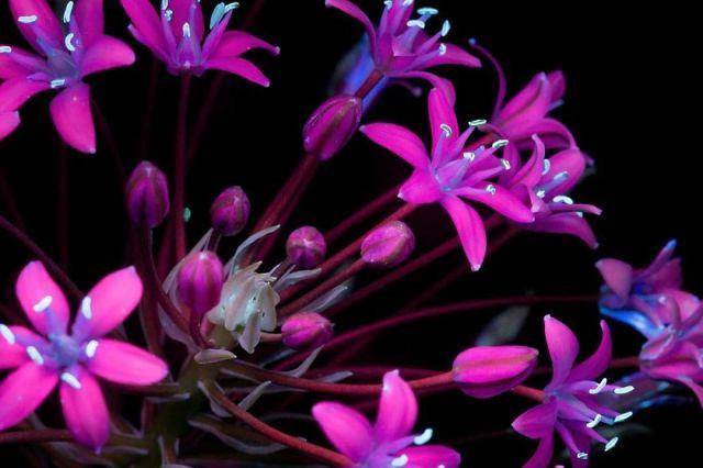 flowers-glow-in-dark-uv-photographs-9