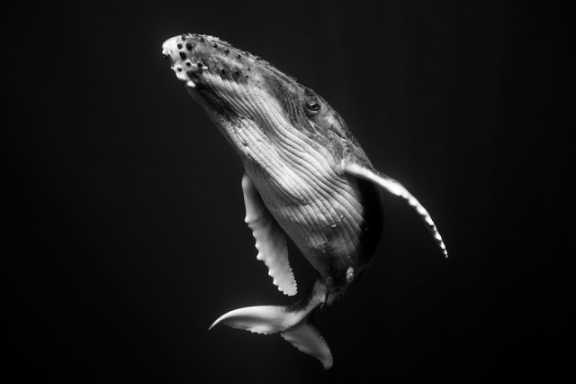 humpback-whale-underwater-photography-giants-series-jem-cresswell-1