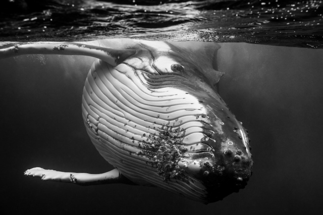 humpback-whale-underwater-photography-giants-series-jem-cresswell-3