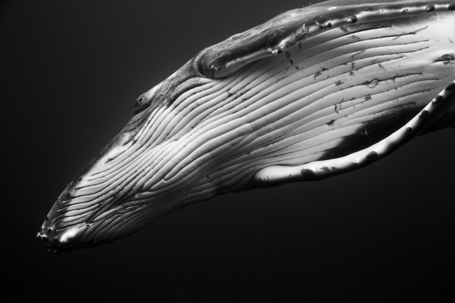 humpback-whale-underwater-photography-giants-series-jem-cresswell-6