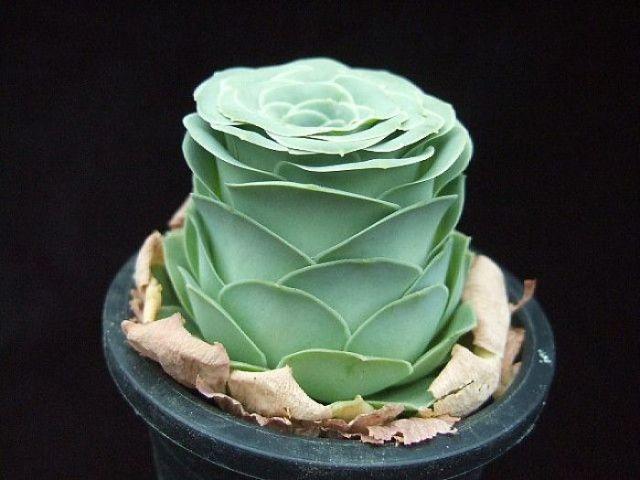 rose-shaped-succulents-greenovia-dodrentalis-58f9a9d93e54a__700