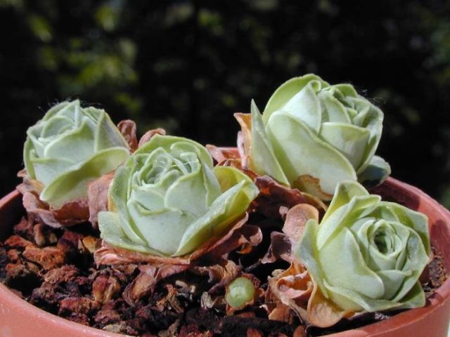 rose-shaped-succulents-greenovia-dodrentalis-58f9acbd37130__700