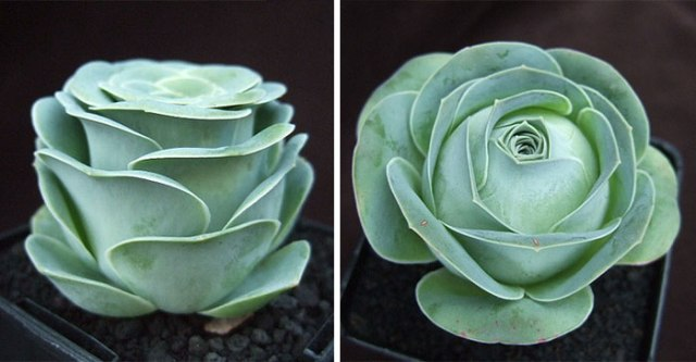 rose-shaped-succulents-greenovia-dodrentalis-69-58f9cda341f37__700