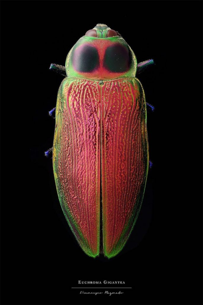 francesco-bagnato-insect-macro-photography-6