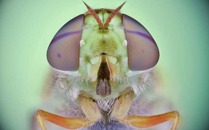 grsoldierfly
