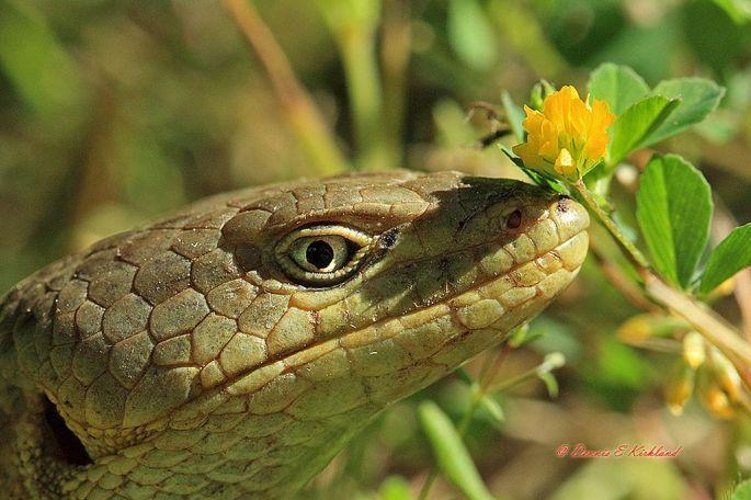 20. Lizard Posy by Dennis Kirkland.jpg