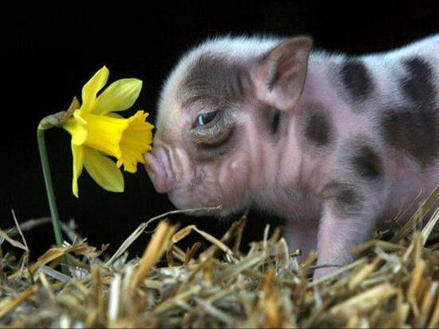 swinia3.jpg
