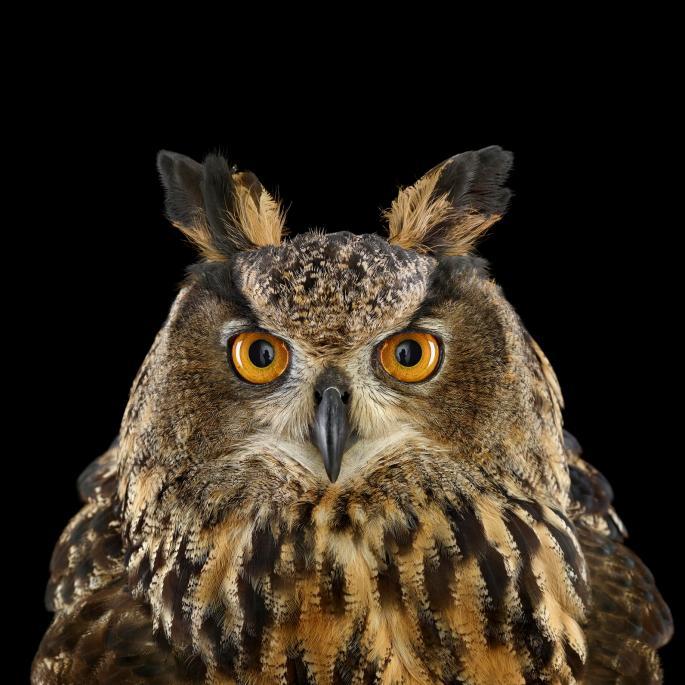 owl-portraits-3