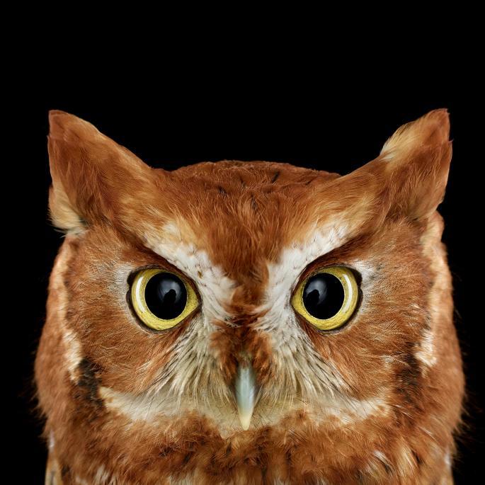 owl-portraits-4