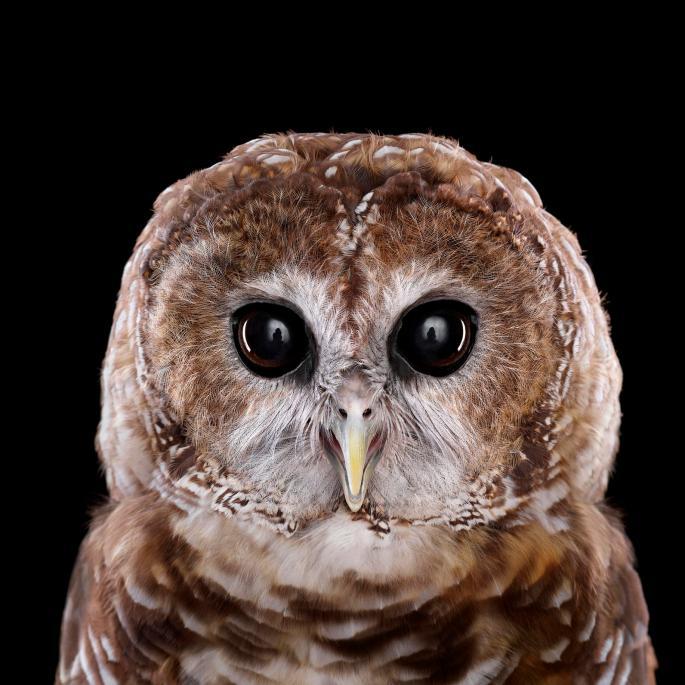 owl-portraits-8
