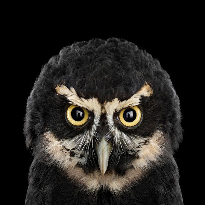 owl-portraits-9