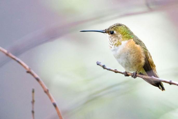 12-humming-bird-photography-by-allen-david-leninson