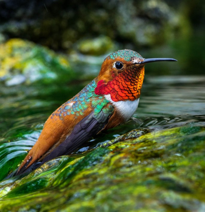 13-humming-bird-photography-by-allen-david-leninson