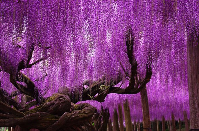 19-of-the-most-beautiful-trees-in-the-world-5
