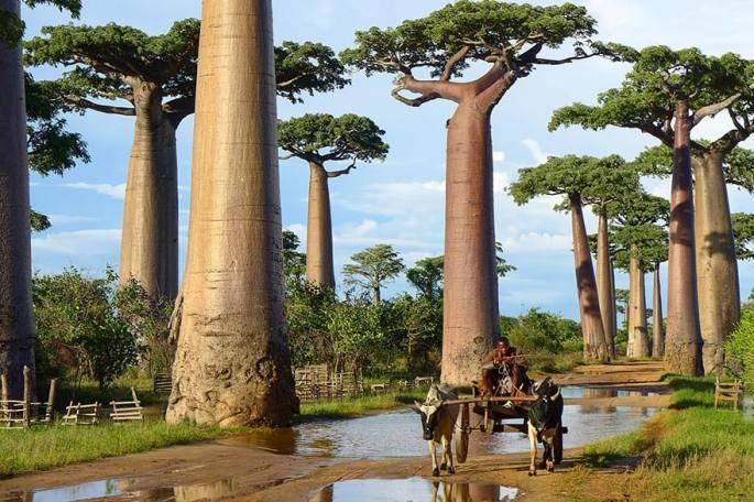baobab-trees-in-madagascar