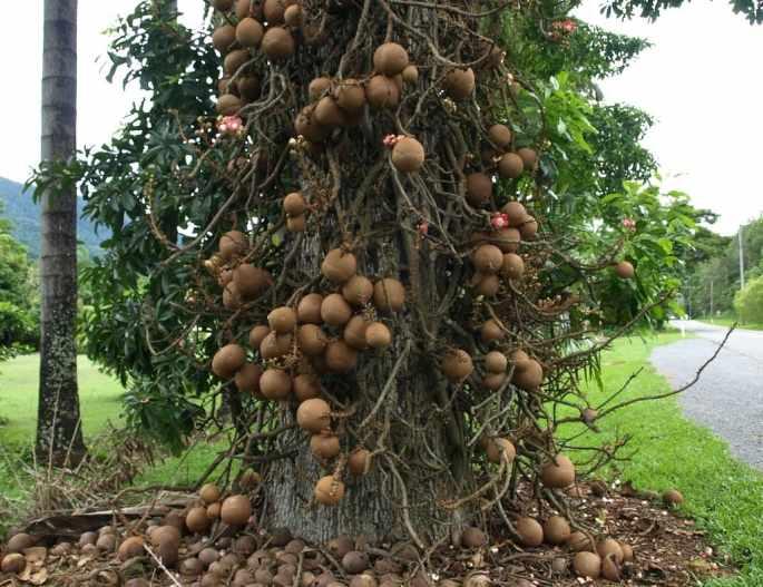 cannonball-tree