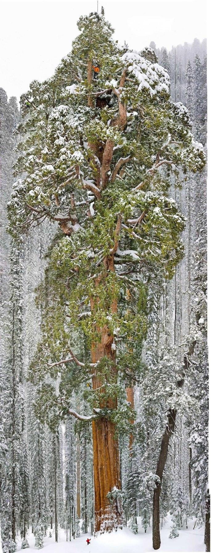 sequoia-geant-president-3200-ans