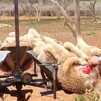 Wool Is Cruel: The Truth About Wool. An Atrocious practice - Mulesing / Sheep struck, trampled, mutilated for wool!