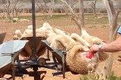 2015-09-schafe-wolle-fleischwucherungen-australien-c-peta-usa-680px