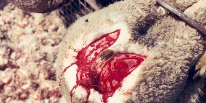 840-mulesed-lamb