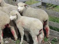 patagonia-lambs-severed-tails