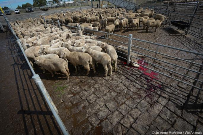 sheep_weanimals-7083