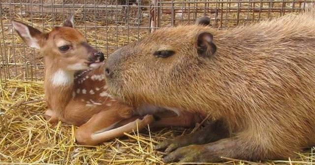 capybara_mean_featured
