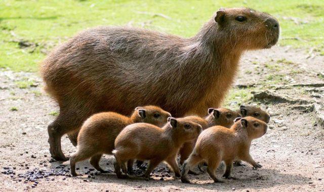 capybaras1