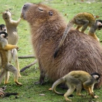 Meet the giant rodent who gets on with EVERYONE in the animal kingdom