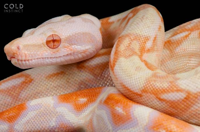 Boa_constrictor_albino_original-5cb83c4e02793.jpg