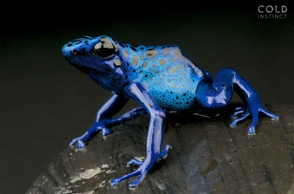 Blue poison-dart frog, (Dendrobates tinctorius azureus, Suriname)