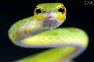 Ahaetulla mysterizand, Malayan vine snake, Malaysia
